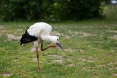 Young Stork