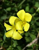 Bermuda Buttercup Flowers