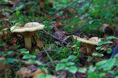 Two Light Beige Mushroom