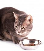 Blue tabby cat with bowl of food, on white