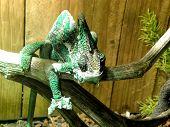 Veiled Chameleon 1