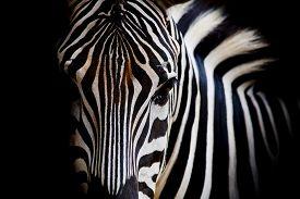 stock photo of furry animal  - A Headshot of a Zebra animal wildlife on black color background  - JPG