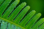 picture of crystal clear  - Lots of crystal-clear dew drops, small and big, cover green leaf of fern like pearls in soft morning light.