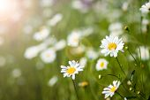 stock photo of daisy flower  - Daisies in the sun light - JPG