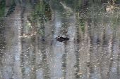 image of crocodilian  - a picture of an american alligator in the water - JPG