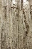 pic of tillandsia  - a picture of spanish moss hanging from a tree - JPG
