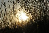 picture of tall grass  - tall grass in the sun that comes on the field - JPG