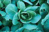 picture of brussels sprouts  - Closeup plant brussels sprouts or cabbage in the garden - JPG