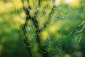 stock photo of cobweb  - Image of a morning cobweb with dew drops - JPG