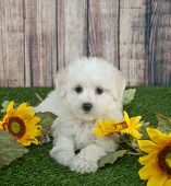 foto of maltipoo  - Cute Maltipoo poppy laying in the grass outdoors with sunflowers around her with copy space - JPG