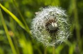 picture of dandelion seed  - Dandelion seeds on a green blurred background - JPG