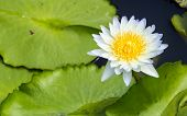 foto of water bug  - White water lily with yellow pollens on the water with green leafs - JPG