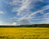 stock photo of rape  - yellow rape field in sunny day with beautiful clouds - JPG