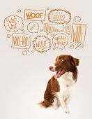 image of border collie  - Cute brown and white border collie with barking speech bubbles above his head - JPG