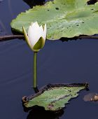 image of water bug  - A white water lily is on a dark water - JPG