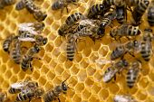 stock photo of swarm  - bees swarming on a honeycomb - JPG