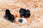 stock photo of born  - Newly born chick lying beside its brown egg - JPG