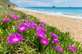 pic of icicle  - Pink icicle plants blooming at shore with sandy beach and sea in Greece - JPG