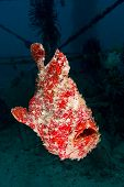 Swimming Giant Frogfish (orange)