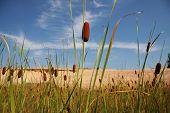 Rohrkolben (auch bekannt als Binsen) wachsenden am See