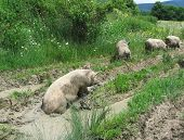 Four pigs on the meadow