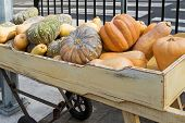 Large freshly harvested Japanese pumpkin, Golden nugget, butternut, winter squash variety in a woode poster