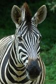 Zebra Head Portrait