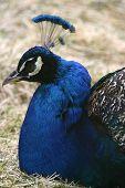 Peacock Reposing