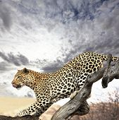 picture of leopard  - leopard - JPG