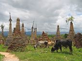 Cow Around The Stupas Of The Paya Kyaukhpyugyi, Inle Lake, Myanmar