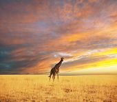 giraffe in savannah at dawn