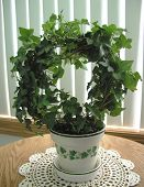 picture of english ivy  - english ivy topiary houseplant in ceramic pot - JPG