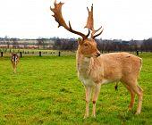 Deer Stag 1