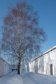 Birch Surrounded By Walls