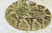 picture of timber rattlesnake  - Timber rattlesnake coiled up in a circle - JPG