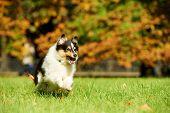 Shetland Sheepdog running on green grass at autumn background