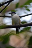 foto of blue winged kookaburra  - the forest kingfisher can be found in the rainforests of Queensland and New South Wales - JPG