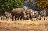 Rhinoceros And Zebras Walking In The Wild In The Ramat Gan Safari. The Zoological Center Tel Aviv-ra poster