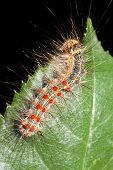 gypsy moth on a rose leaf / Lymantria dispar