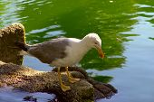 Seagull Standing Near A Lake
