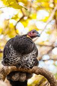 Brushturkey On A Tree Branch In Byron Bay, New South Wales, Australia poster