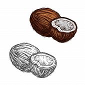 Coconut Fruit Sketch Of Tropical Coconut Palm. Whole And Half Of Exotic Nut Isolated Icon Of Healthy poster