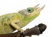 Close-up of Mt. Meru Jackson's Chameleon, Chamaeleo jacksonii merumontanus, partially shedding in fr