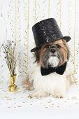 A Handsome Shih Tzu Celebrates New Year's