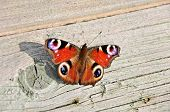 Peacock butterfly (Latin: Inachis io)