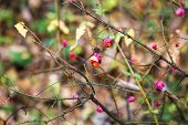 Poisonous Ripe Fruits On Branch Of Euonymus Bush In Urban Timiryazevskiy Park In Moscow City In Autu poster