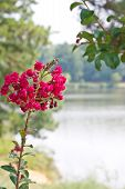 stock photo of crepe myrtle  - A pink crepe myrtle bloom on a lakeside tree - JPG
