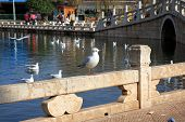 pic of coexist  - A seagull perched on a railing in a public park in Kunming China during the migratory season of the winter months - JPG