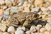 Big Green Frog Or Anuran Sitting On Stones, Animals Wildlife poster