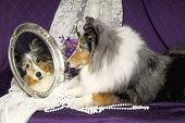 Sheltie Dog Looking In A Mirror